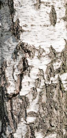 Detail der Birkenbaumrinde Textur