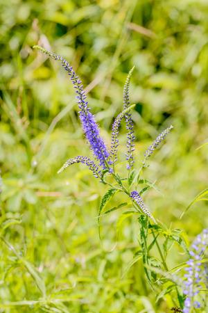 speedwell: Pseudolysimachion longifolium (Veronica longifolia) also known as garden speedwell or longleaf speedwell, growing in the meadow under the warm summer sun Stock Photo