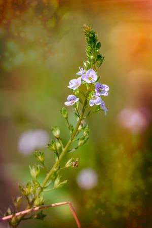 plantaginaceae: A pink Veronica anagallis-aquatica flower, also called water speedwell, or blue water-speedwell under the warm summer sun Stock Photo