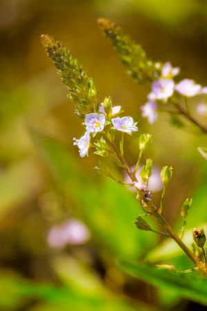 veronica flower: A pink Veronica anagallis-aquatica flower, also called water speedwell, or blue water-speedwell under the warm summer sun Stock Photo