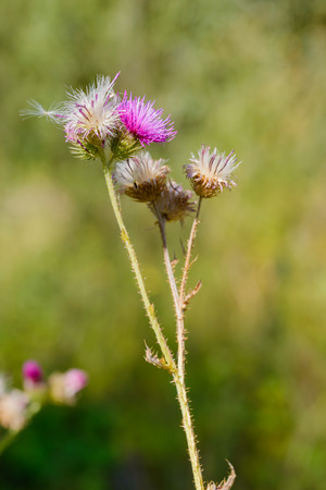 The Cirsium arvense, also called creeping thistle, is a thistle blooming in the fields and meadows