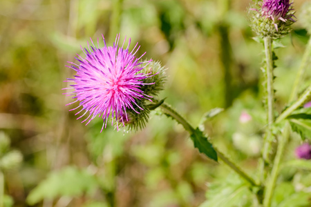 arvense: The Cirsium arvense, also called creeping thistle, is a thistle blooming in the fields and meadows