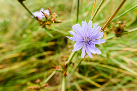 A mauve chicory flower, Cichorium Intybus, growing close to the lake in middle of the Schoenoplectus reeds, under the warm summer sun