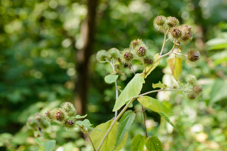beggars: Arctium lappa, commonly called greater burdock, gobo, edible burdock, lappa, beggars buttons, thorny burr, or happy major is a Eurasian species of plants in the sunflower family
