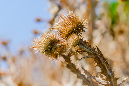 spiny: Macro of dry Cirsium vulgare, also called spear thistle, bull thistle, or common thistle, growing on the hill close to the lake. Kiev, Ukraine