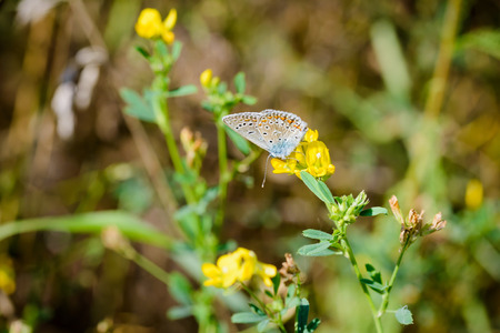 polyommatus icarus: Common blue or Polyommatus Icarus butterfly on a yellow flower