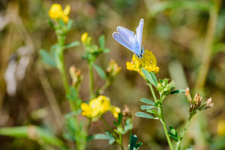 Common blue or Polyommatus Icarus butterfly on a yellow flower