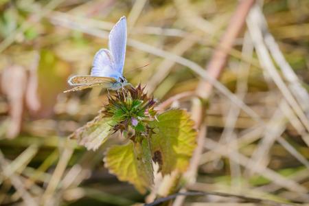 common blue: Common blue or Polyommatus Icarus butterfly on a nettle flower Stock Photo