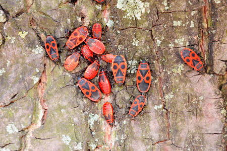 nymphs: Colony of black and red Firebug or Pyrrhocoris apterus, adults and nymphs, on a tree trunk Stock Photo