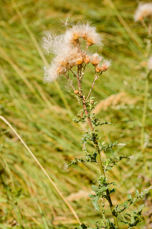 arvense: Feathery pappus and overblown flowers of Cirsium arvense also called creeping thistle