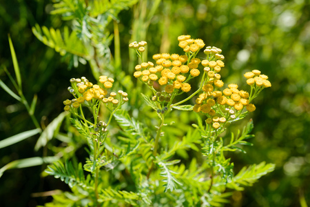 vulgare: Tansy (Tanacetum vulgare), also called common tansy, bitter buttons, cow bitter, or golden buttons, growing close to a lake in Kiev, Ukraine
