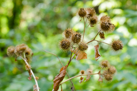 beggars: Dry arctium lappa, commonly called greater burdock, gobo, edible burdock, lappa, beggars buttons, thorny burr, or happy major is a Eurasian species of plants in the sunflower family Stock Photo
