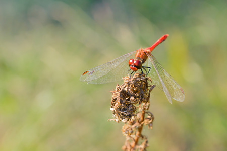 Red-veined darter (Sympetrum sanguineum ) on a dry flower Stock Photo