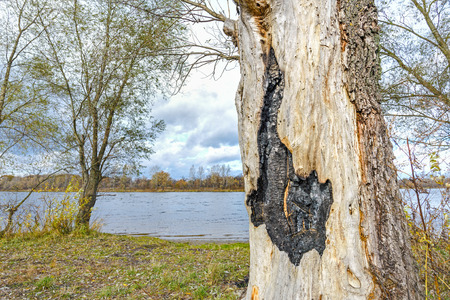 Burnt willow tree trunk close to the Dnieper river in Kiev, Ukraine, at the beginning of Autumn
