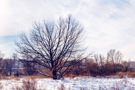 backlite: Oak tree without leaves in the snow during winter Stock Photo