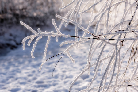 Branch of weeping willow covered by snow and frost in winter, close to the Dnieper river in Ukraine
