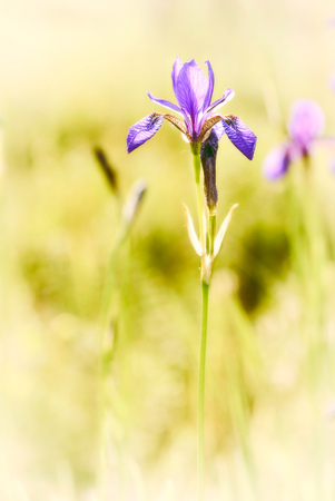 Iris sibirica, commonly known as Siberian iris or Siberian flag, growing in the meadow close to the Dnieper river in Kiev, Ukraine, under the soft morning sun Stock Photo