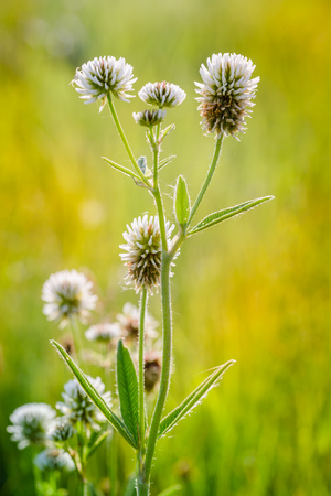 Trifolium repens or white clover, also known as Dutch clover, Ladino clover, or Ladino, in the meadow close to the Dnieper river in Kiev, Ukraine, under the soft morning summer sun