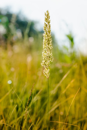 Gramineae herbs moved by the wind in a meadow  under the warm spring sun Stock Photo