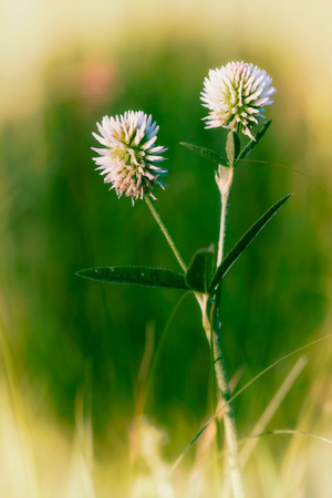 trifolium: Trifolium repens or white clover, also known as Dutch clover, Ladino clover, or Ladino, in the meadow close to the Dnieper river in Kiev, Ukraine, under the soft morning summer sun. Effect photo. Stock Photo