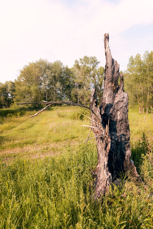 A burnt tree trunk among the green  plants White chamomile flowers in a meadow under the warm sun, in Kiev, Ukraine.