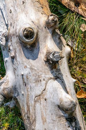 Un exemple de pareidolia: un morceau de tronc d'arbre ressemblant à un visage. Symbolise la nature malheureuse Banque d'images - 80552811