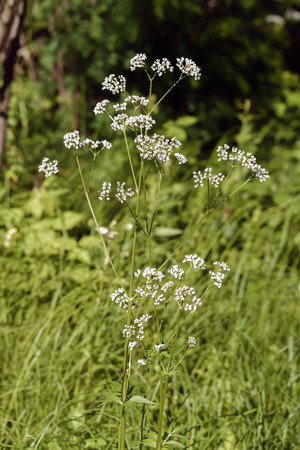 The white flowers of Valeriana officinalis grow under the summer sun in its wild natural environment Stock Photo