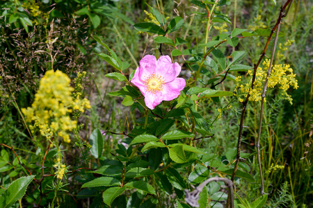 A nice rosa rubiginosa, also known as briar rose, dog-rose, sweet briar, sweetbriar rose, sweet brier, rose hip or eglantine, under the warm spring sun, in Kiev, Ukraine Stock Photo