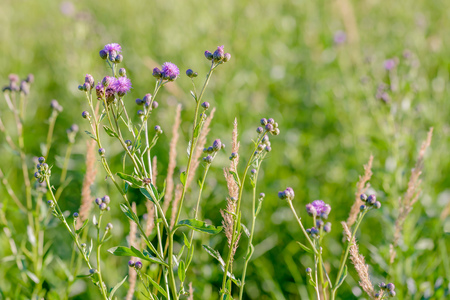 A Centaurea Scabiosa flower with buds,  also known as  greater knapweed, is growing in the meadow close to the Dnieper River in Kiev, Ukraine, under the warm summer sun