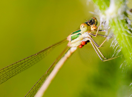 Female of Lestes barbarus damselfly, also known as southern emerald damselfly, shy emerald damselfly, and migrant spreadwing. Red Hydrachnidia parasites are attached under the body of the insect