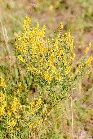 Yellow Genista januensis, also known as broom, growing in a sandy soil in Kiev, Ukraine