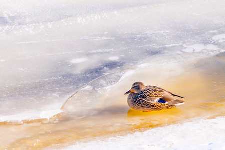 A female mallard duck is waiting on the ice of the frozen Dnieper river, during winter  in Kiev, Ukraine