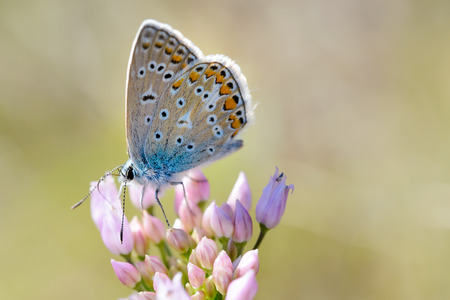 Common blue or Polyommatus Icarus butterfly on a pink flower Stock Photo
