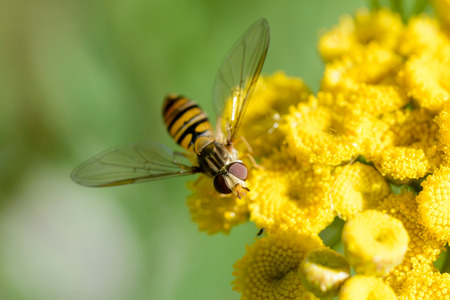 Episyrphus balteatus, also known as Marmalade hoverfly  on a yellow Tansy flower (Tanacetum vulgare)