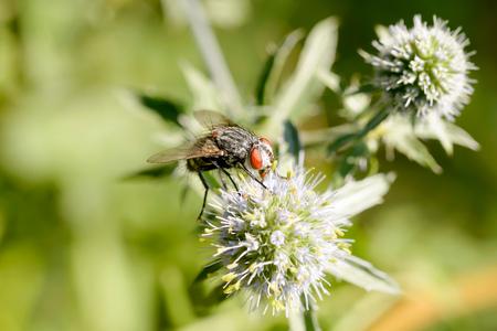 Hairy fly on an Eryngium campestre flower, under the warm summer sun. Kiev, Ukraine