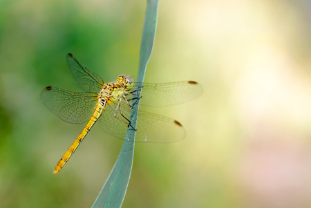 Sympetrum striolatum, also known as common darter, resting on a leaf Stock Photo