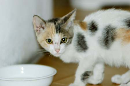 White, black and brown spotted kitten drinking milk in a little cup or bowl