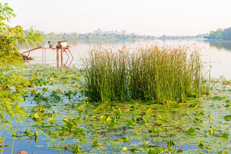Scirpus plants and yellow waterlily in the misty Dnieper river in Kiev, Ukraine, at sunrise Фото со стока