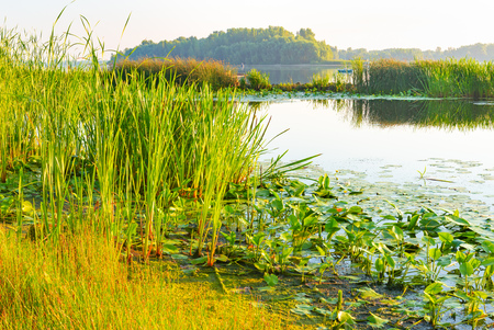 Scirpus plants and yellow waterlily in the Dnieper river in Kiev, Ukraine, at sunrise Stock Photo