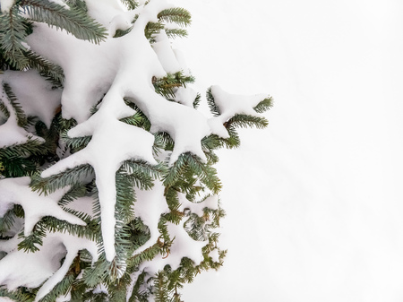 Closeup detail of frozen snow on a fir branch during the cold winter at sunset