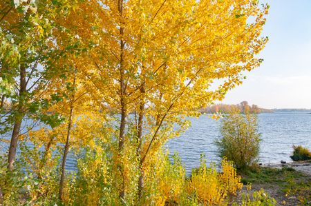 Poplar trees with yellow and orange leaves close to the Dnieper river in Kiev, Ukraine, at the beginning of autumn, with a soft cloudy sky