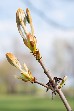 Macro of a horse-chestnut (aesculus hippocastanum) sprout under the warm spring sun