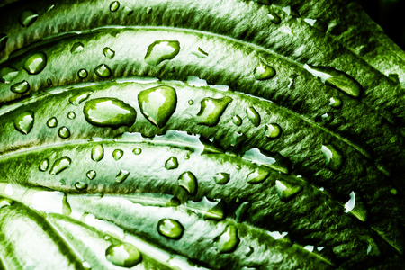 Detail of a green Hosta leaf with rain drops after the storm