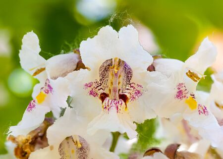 Macro photo of backlit Catalpa bignonioides flowers, also known as southern catalpa, cigartree, and Indian-bean-tree.