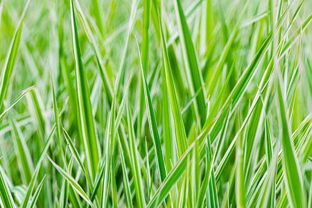 Feuilles vertes et blanches de Phalaris arundinacea, également connues sous le nom d'alpiste roseau et de jarretières de jardinier, poussant dans un parc au début du printemps, à Kiev, Ukraine Banque d'images