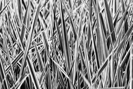 Black and white picture of green and white Phalaris arundinacea leaves, also known as reed canary grass and gardener's garters, growing in a park at the beginning of spring, in Kiev, Ukraine Foto de archivo