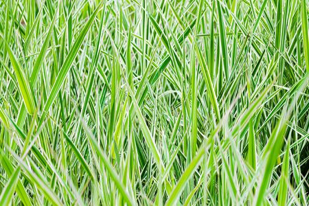 Green and white Phalaris arundinacea leaves, also known as reed canary grass and gardener's garters, growing in a park at the beginning of spring, in Kiev, Ukraine Foto de archivo