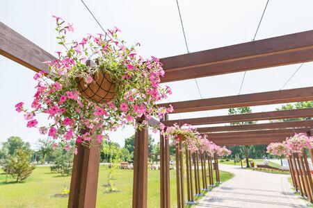 """Hängender Garten aus rosa Petunienrosen im Natalka-Park von Kiew, Ukraine, unter einer warmen Frühlingssonne. Die Blumen werden in Körbe gelegt, die an einer Holzstruktur vom Typ """"Pergola"""" aufgehängt sind"""