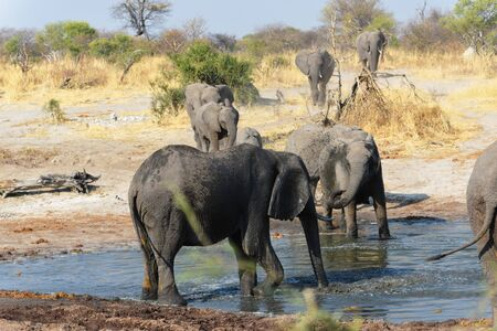 Elephants in the wild on the way to the waterhole