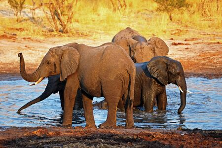 Elephants in the wild on the way to the waterhole Stock Photo